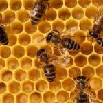 Таможня не дала добро, а пчёлы дали